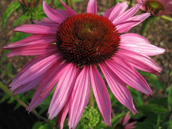 Sonnenhut – Echinacea purpurea ´Rubinstern`